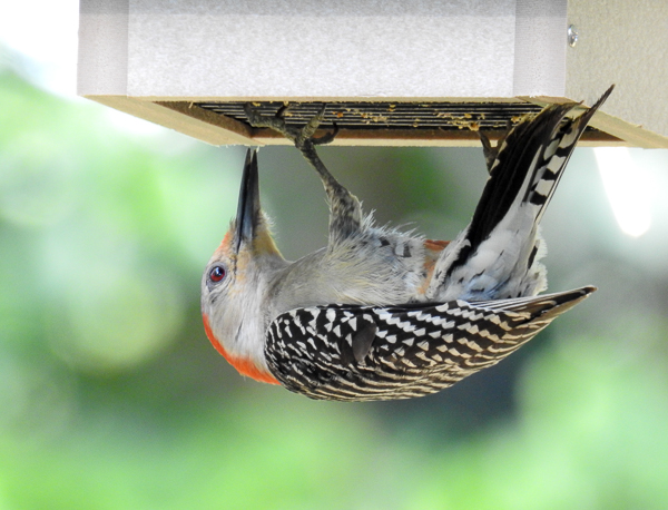 Female Red-Bellied Woodpecker at the Suet Feeder