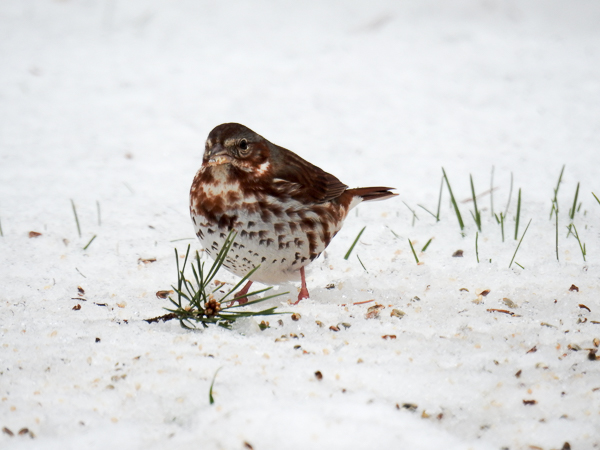 Fox Sparrow in snowy backyard