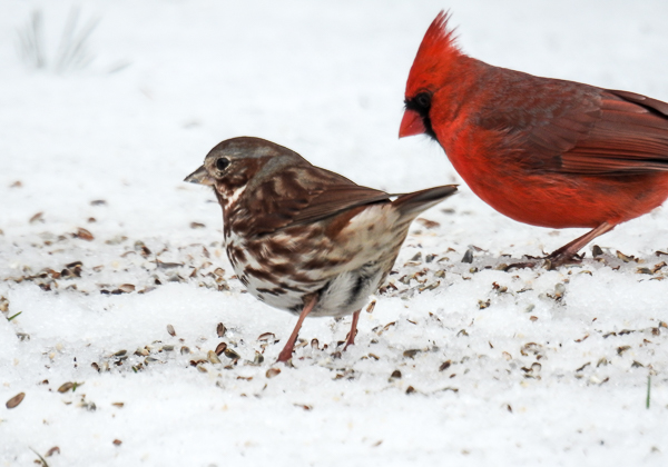 Fox Sparrow & Northern Cardinal in snow