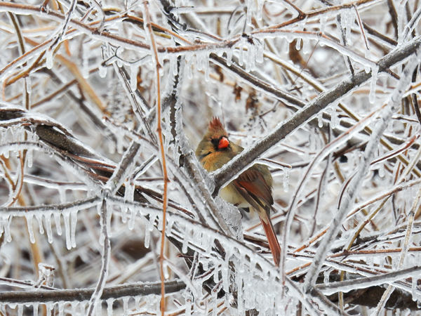 Female Northern Cardinal in ice-covered brush in the backyard