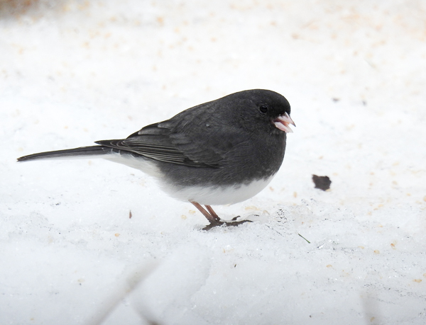 Dark-Eyed Junco in snow covered backyard