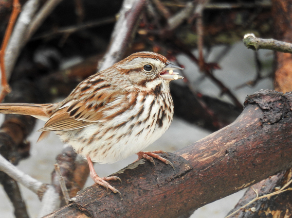 Song Sparrow eating millet in brush pile