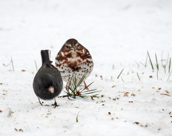 Fox Sparrow and Dark-Eyed Junco