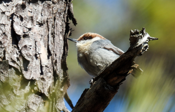 Brown-Headed Nuthatch we found near Chesapeake Bay Environmental Center's observation platform