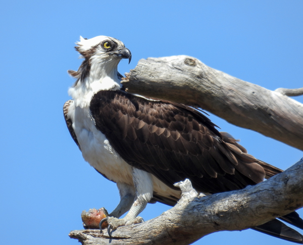 An Osprey Enjoying Sushi at Chesapeake Bay Environmental Center