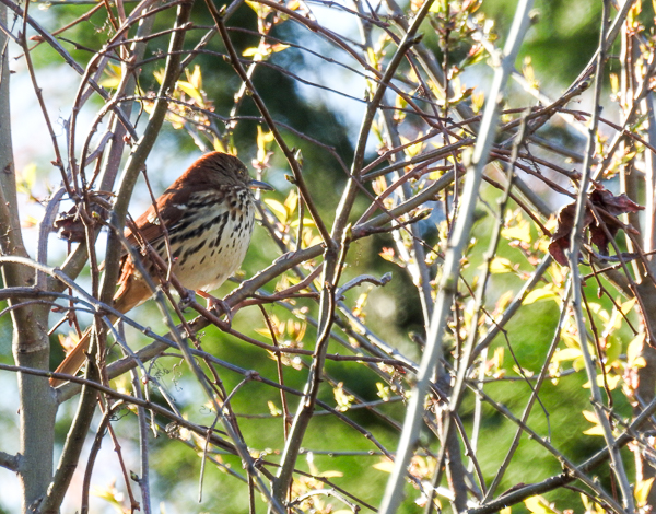 A Brown Thrasher up in a tree near the parking lot