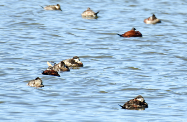 Sleepy Ruddy Ducks on Lake Knapp at CBEC