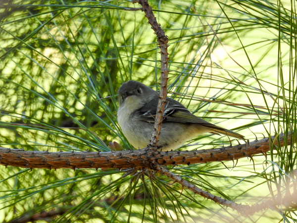 Ruby-Crowned Kinglet seen at Chesapeake Bay Environmental Center