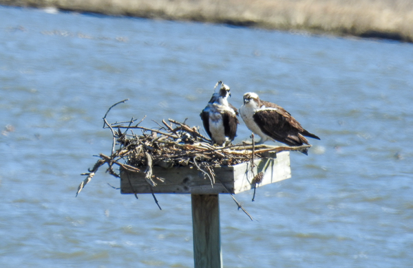 A Pair of Ospreys on a nesting platform on Marshy Creek at Chesapeake Bay Environmental Center