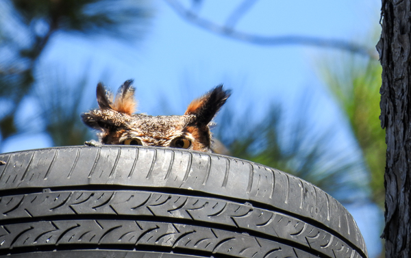Great Horned Owl peeking out at us from a tire in a tree at CBEC.