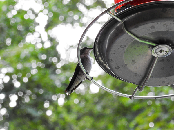 Ruby-Throated Hummingbird at a Perky Pet Feeder