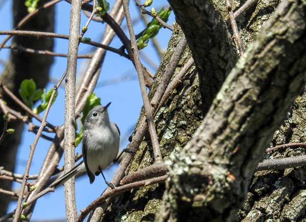 Blue-Gray Gnatcatcher in a tree