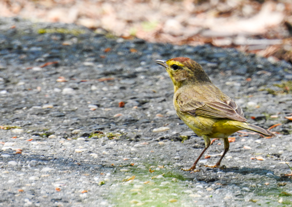 Palm Warbler on the driveway