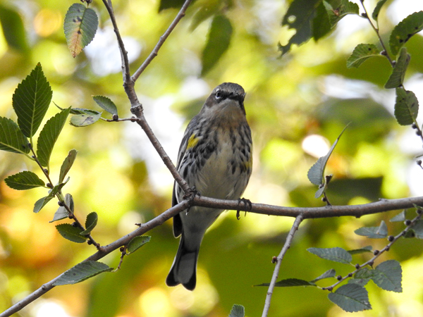 Yellow-Rumped Warbler on a tree branch