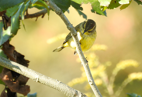 Palm Warbler on a tree branch