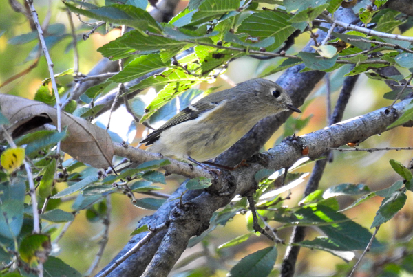 Ruby-Crowned Kinglet on a vine covered tree