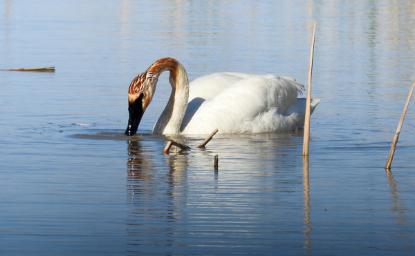 One of Many Trumpeter Swans at Ottawa National Wildlife Refuge