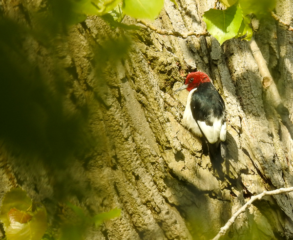 Red-Headed Woodpecker Toward Western End of the Boardwalk
