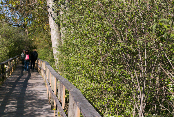 Birding at Magee Marsh: Early Morning on the Less Busy East End of the Boardwalk
