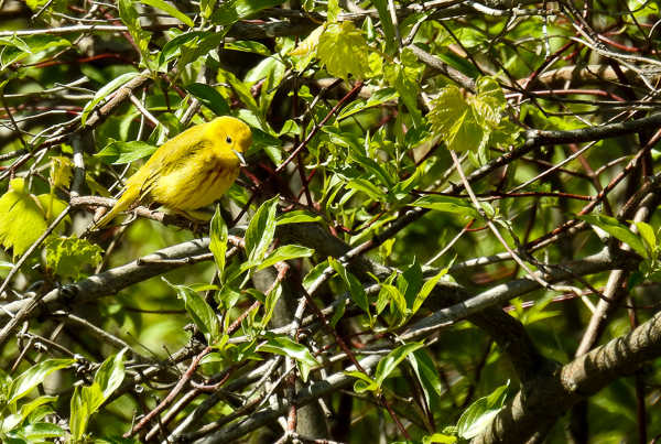 A Yellow Warbler at the East End of the Boardwalk