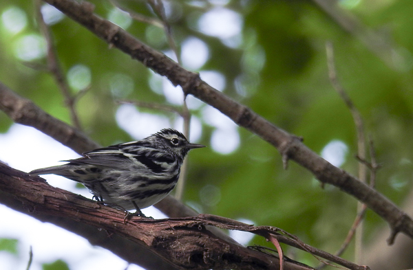 Black-and-White Warbler at Magee Marsh (p900)