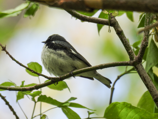 Black-Throated Blue Warbler at Magee Marsh (p900)