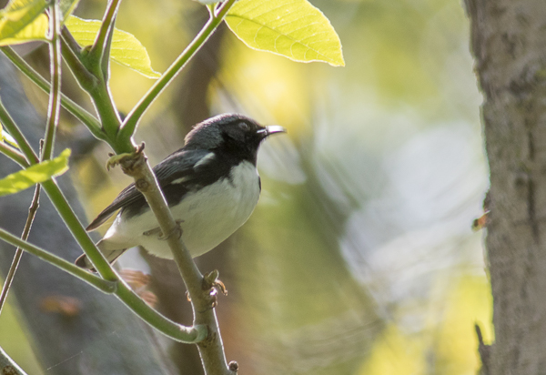Black-Throated Blue at Magee Marsh (Canon 7d Mark II 400 mm)