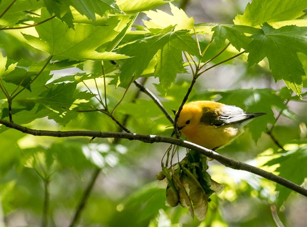 Prothonotary Warbler at Magee Marsh (Canon 7d Mark II 400 mm)