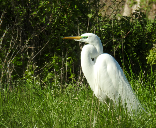 Great Egret at Magee Marsh (p900)