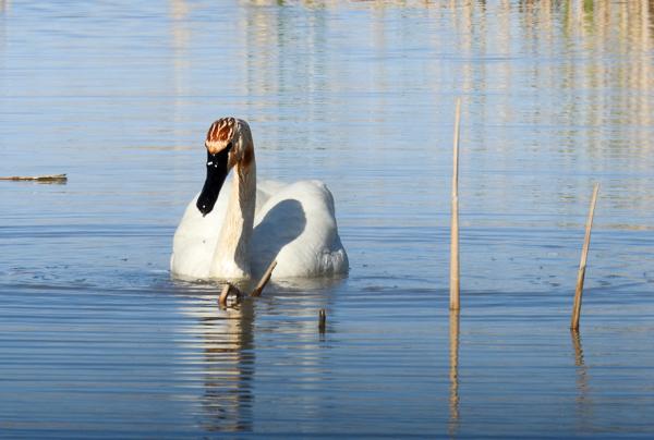 Trumpeter Swan at Ottawa National Wildlife Refuge (p900)