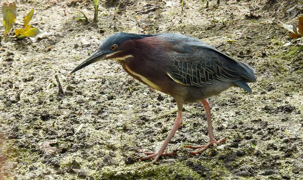 Green Heron at Magee Marsh (p900)