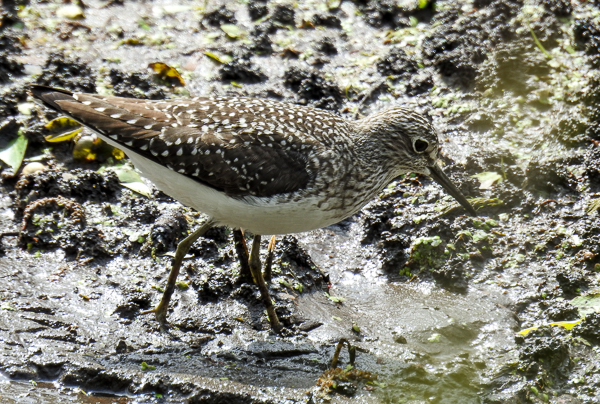Solitary Sandpiper at Magee Marsh (p900)