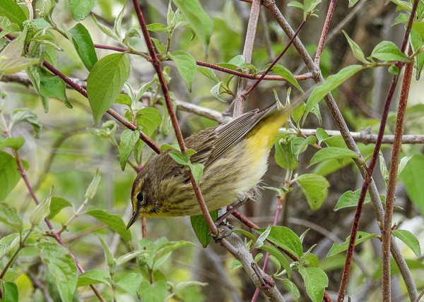 Palm Warbler at East End of the Boardwalk (p900)
