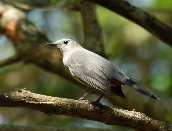 Gray Catbird on a branch in the back yard