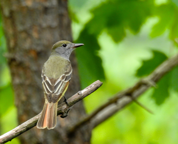 Great Crested Flycatcher in a tree in the back yard