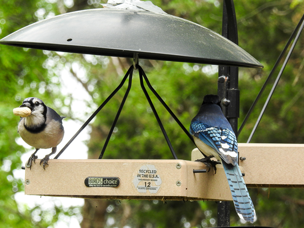 Blue Jays Grabbing Some Peanuts from a feeder