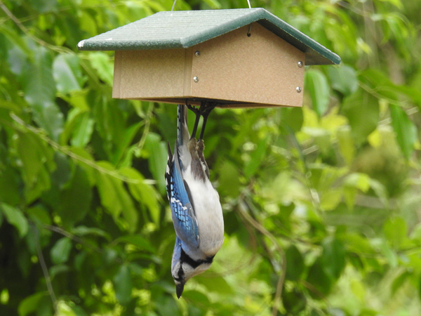 Blue Jay Dangling From the Suet Feeder