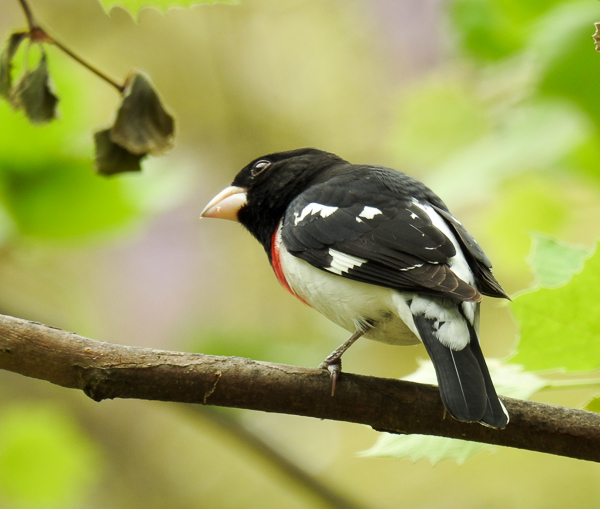 Male Rose-Breasted Grosbeak on a branch in the back yard