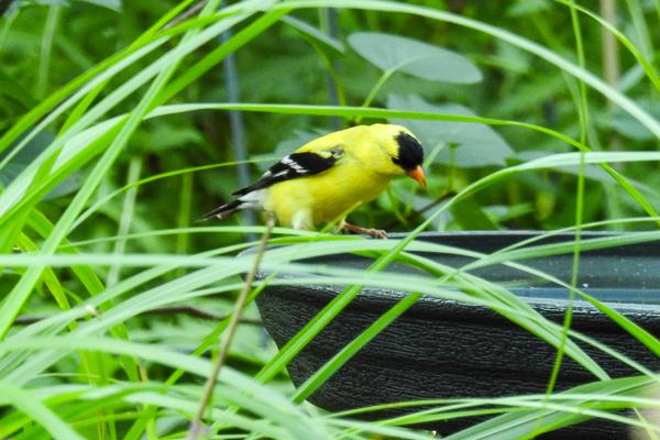 American Goldfinch Enjoys the New Birdbath