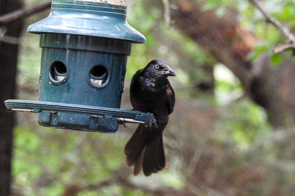Common Grackle on Squirrel Buster Plus Feeder