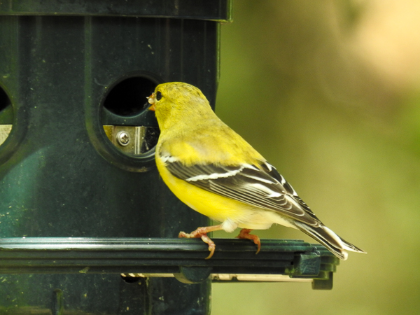 Squirrel Buster Plus Feeder and American Goldfinch