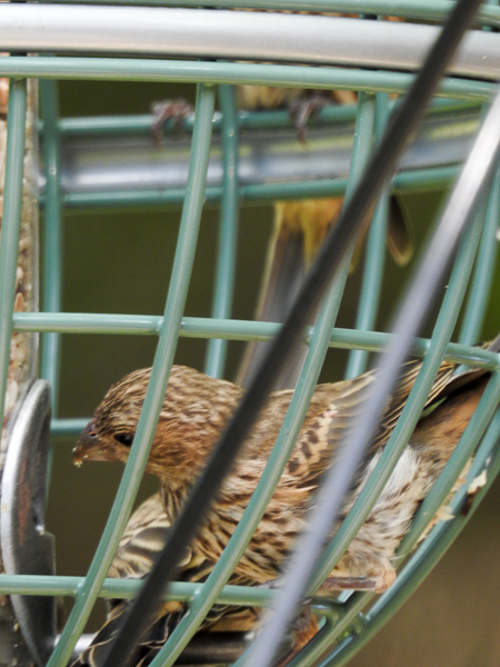 House Finches inside the cage feeder