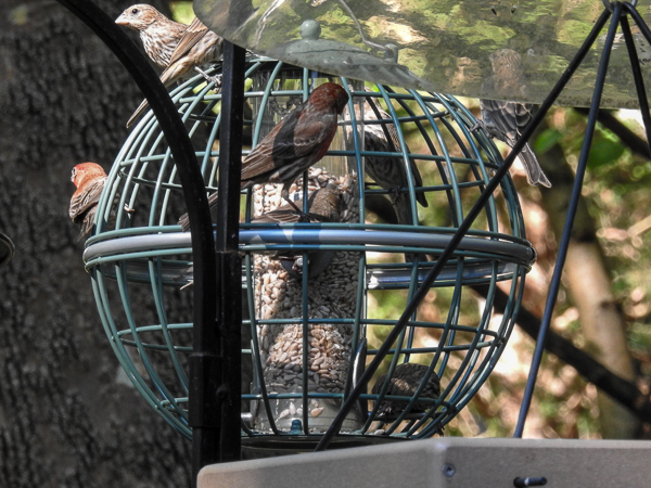 House Finches in and on the Nuttery Globe Feeder