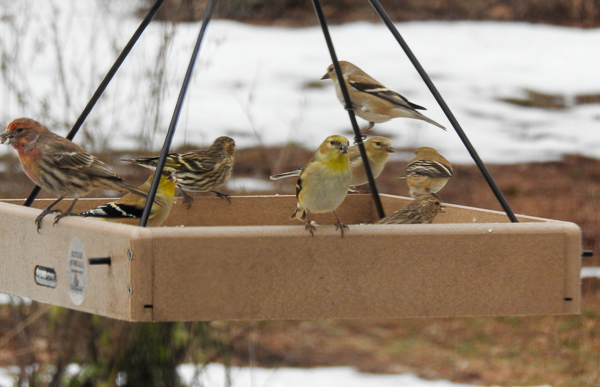 American Goldfinch, House Finch and Pine Siskins