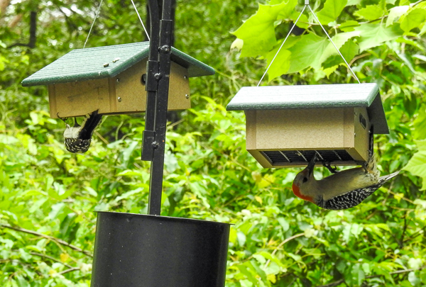 A Downy Woodpecker and a Red-Bellied Woodpecker on Upside-Down Suet Feeders