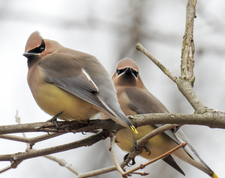 Two Cedar Waxwings on a tree branch