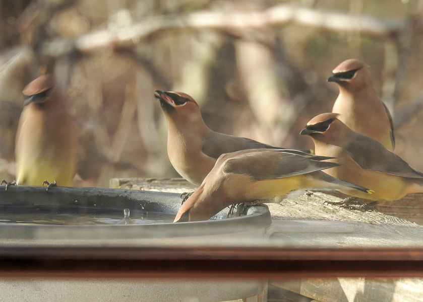 Cedar Waxwings at A Birdbath