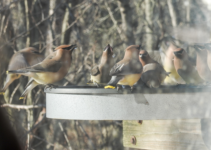 Cedar Waxwings take turns drinking at a birdbath