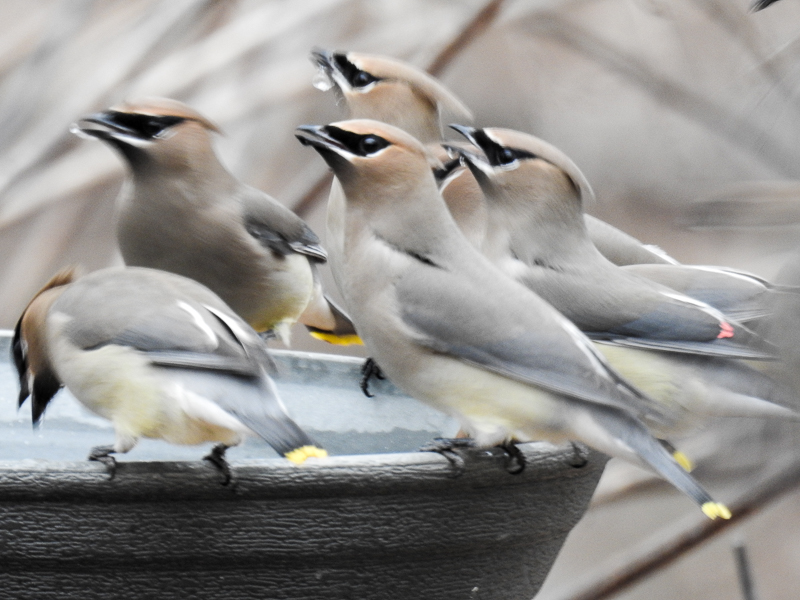 Cedar Waxwings take turns drinking at birdbath
