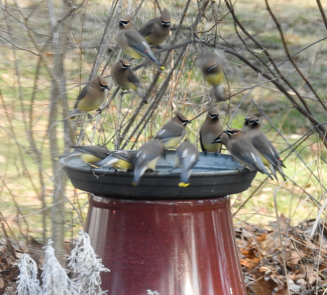 Flock of Cedar Waxwings take turns drinking at a birdbath